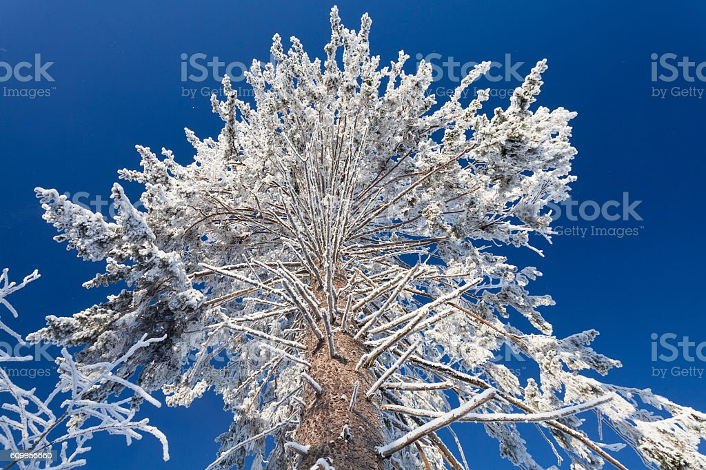 Big branches of huge pine in winter forest stock photo