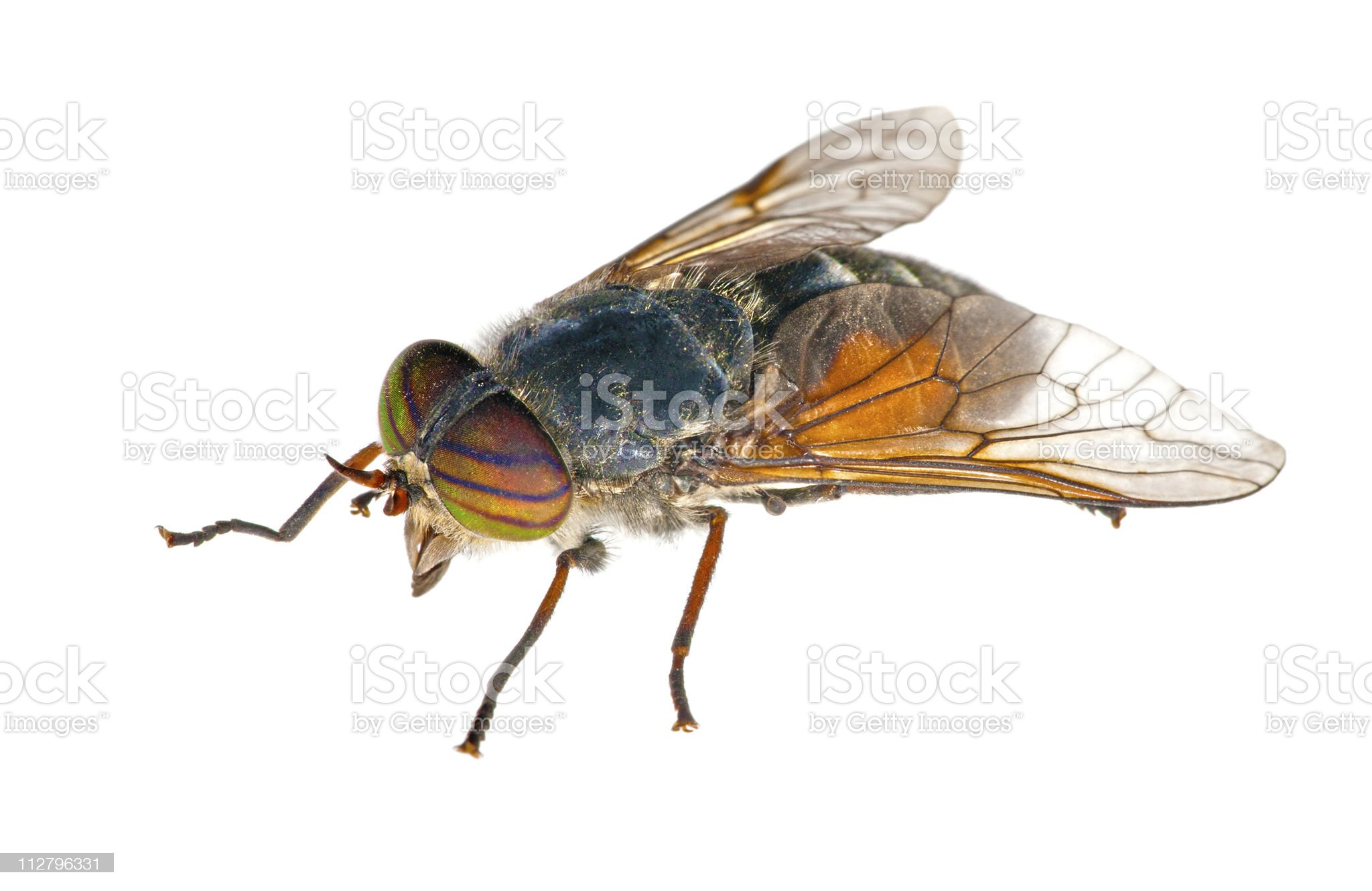 big bright gadfly with striped eyes royalty-free stock photo