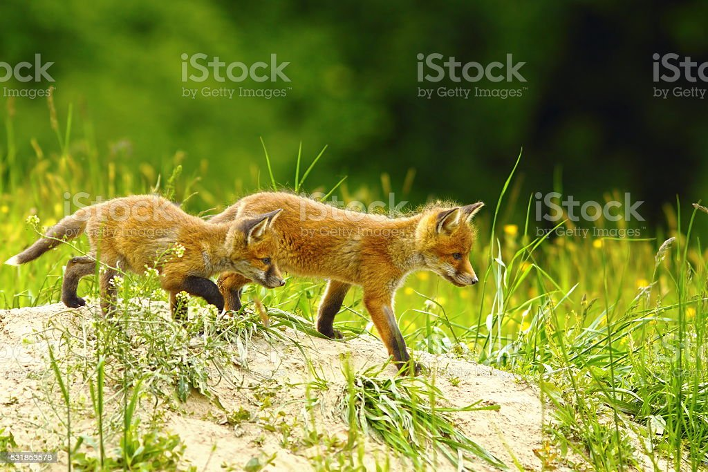 big brother fox stock photo