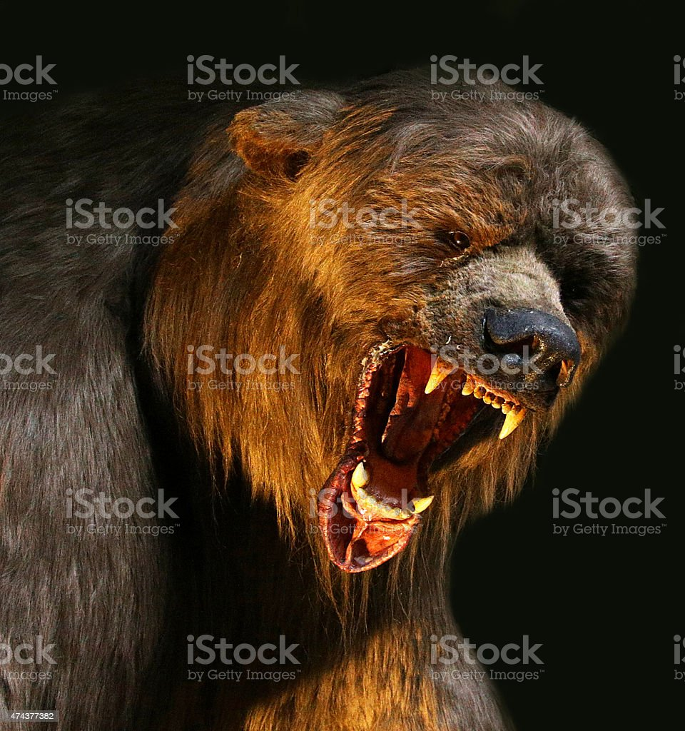 big brown bear closeup stock photo