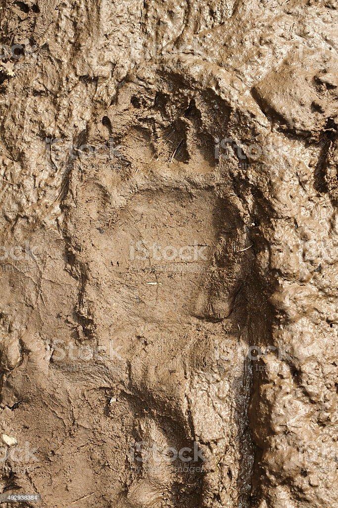 big brown bear footprint stock photo