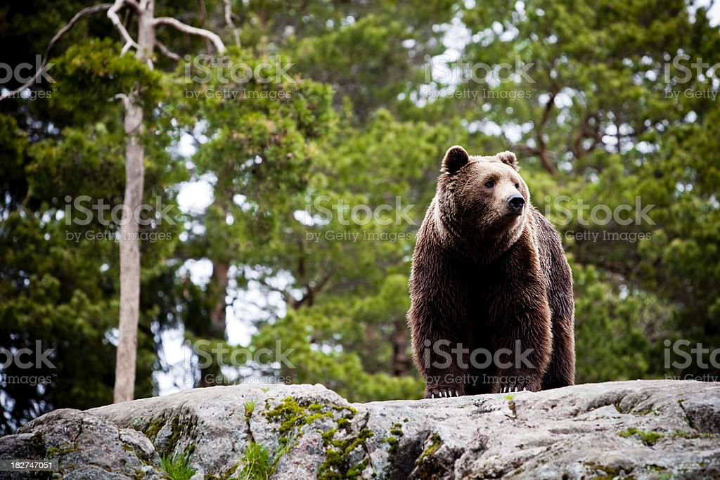 Big brown bear in forest stock photo