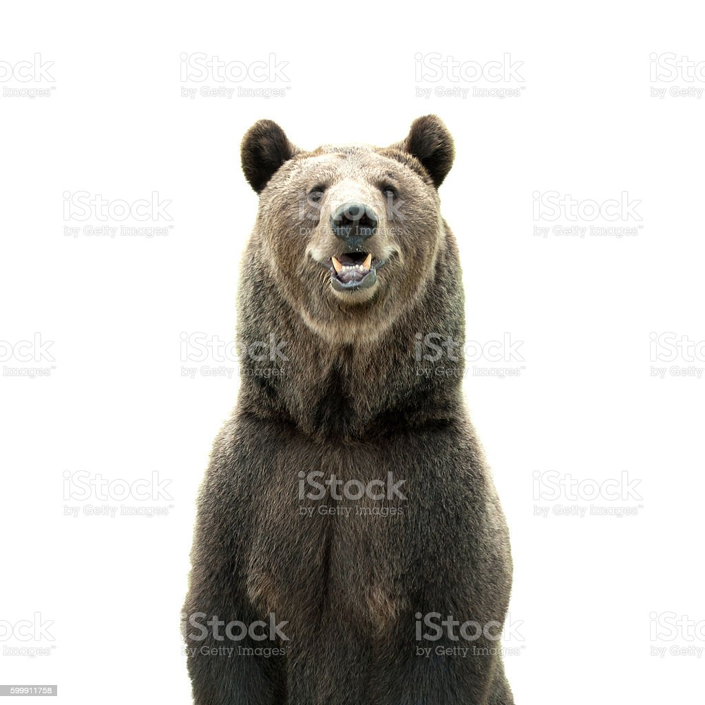 Big brown bear isolated on white background stock photo