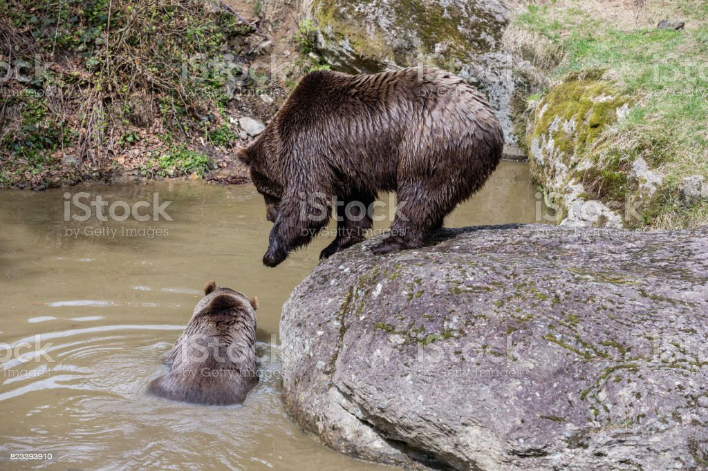 A large brown bear is standing on a rock and calling the females. The...