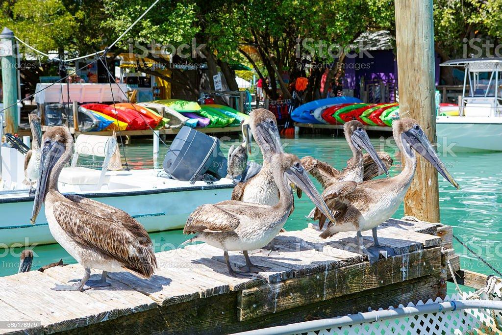 Big brown pelicans in Islamorada, Florida Keys stock photo