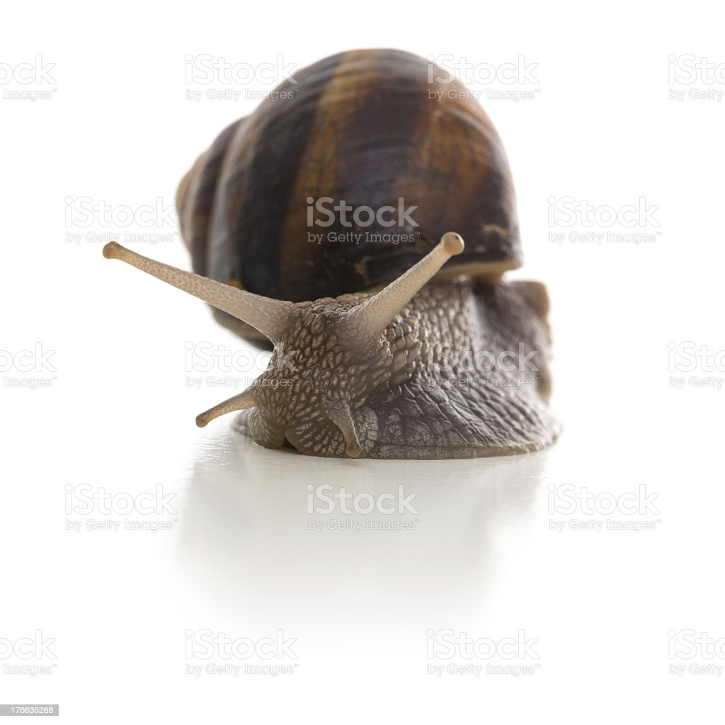 Big brown snail crawls on white background royalty-free stock photo