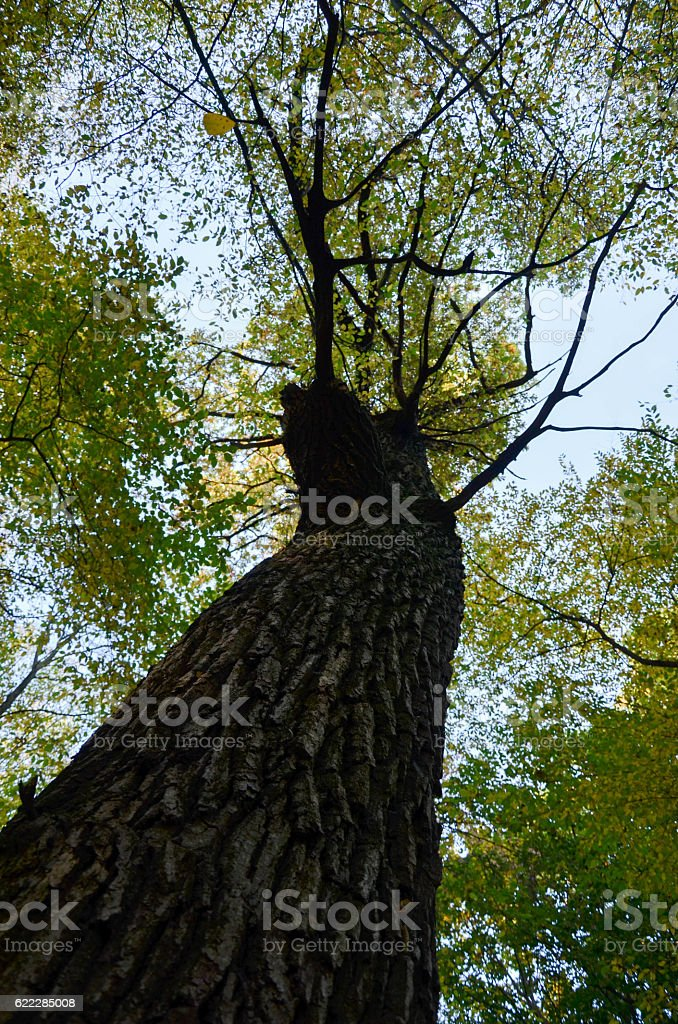 Big brown trunk and new green leaf of old tree stock photo