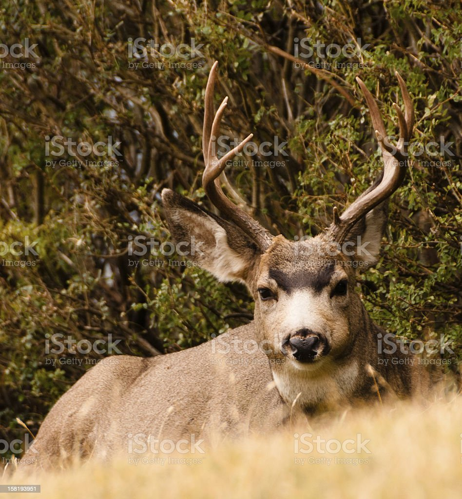 Big Buck stock photo