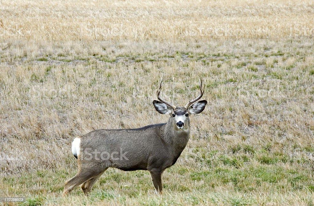 Big Buck royalty-free stock photo