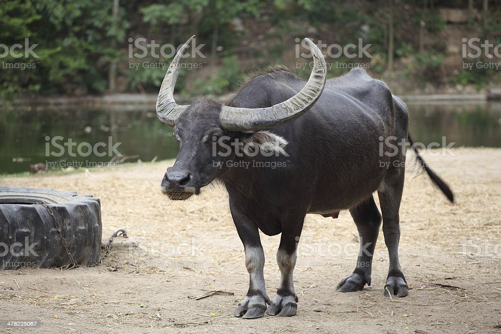 Big buffalo with the beautiful horn royalty-free stock photo
