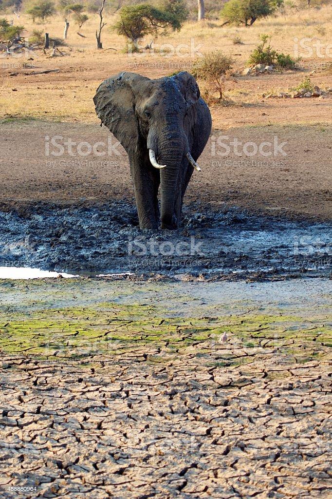 Big bull elephant in the mud stock photo