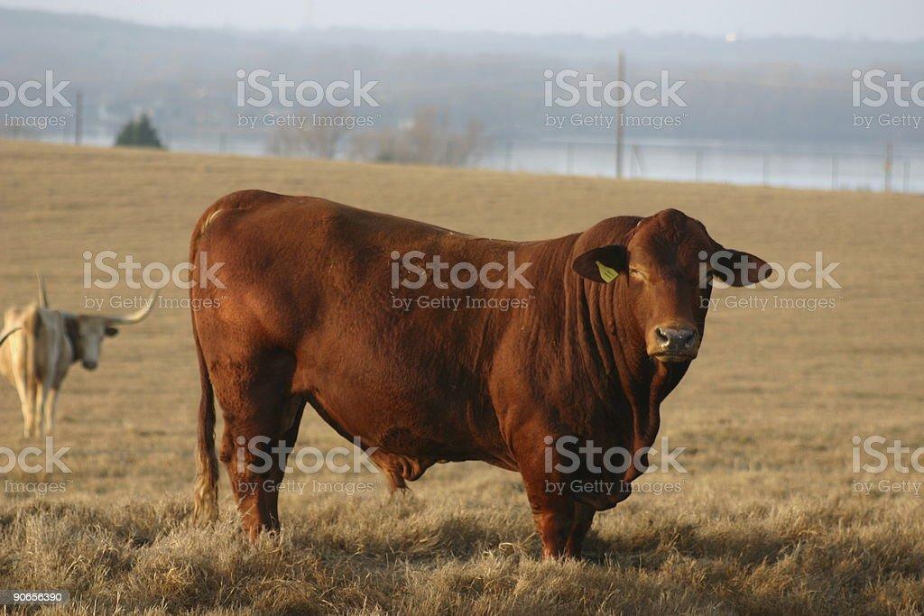 big bull royalty-free stock photo