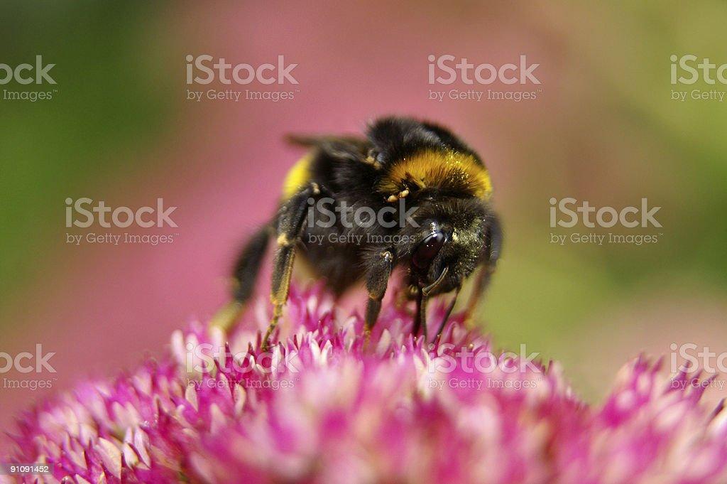 Big bumble bee on stonecrop stock photo