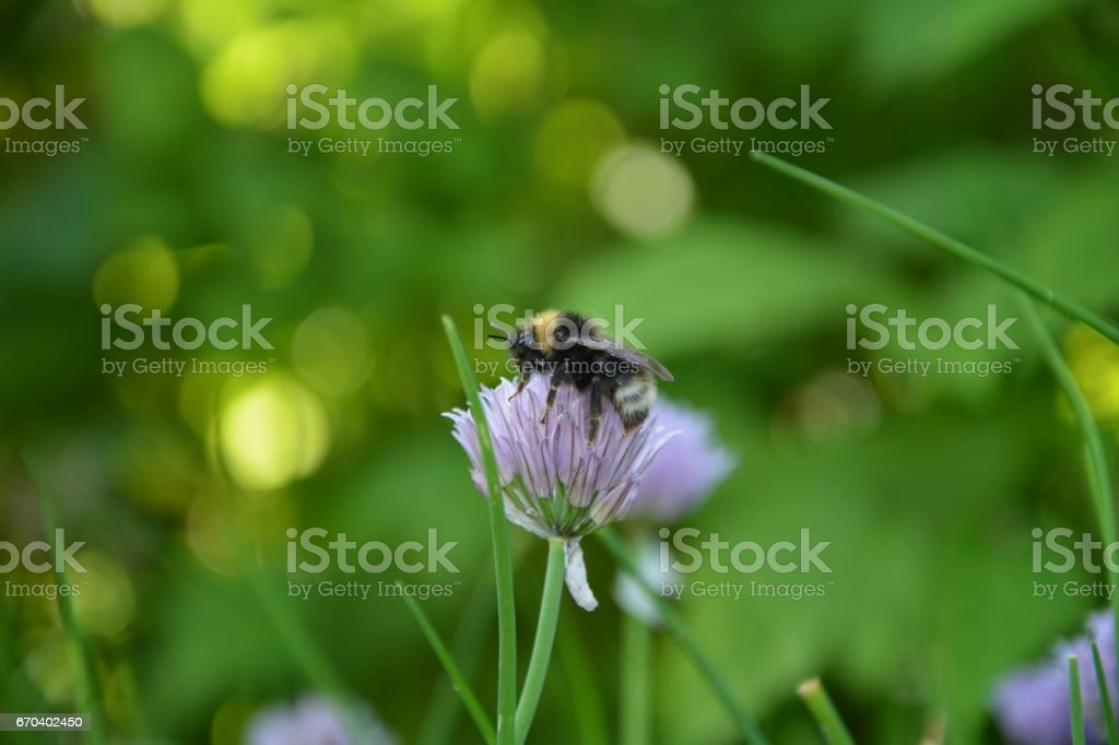 A big Bumblebee on purple chive blossom stock photo