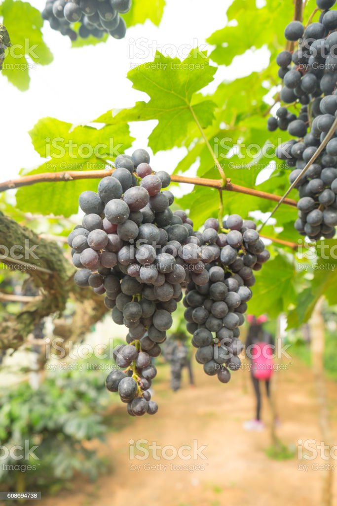 Big bunch of reddish black grape on tree in vineyard Chiang mai north of Thailand stock photo