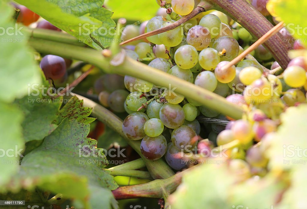 big bunches of ripe white grapes on vineyard stock photo