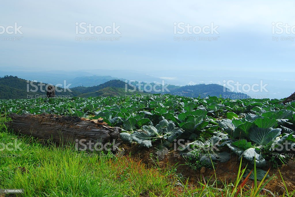 Big Kapusta farm na góry i niebo zbiór zdjęć royalty-free