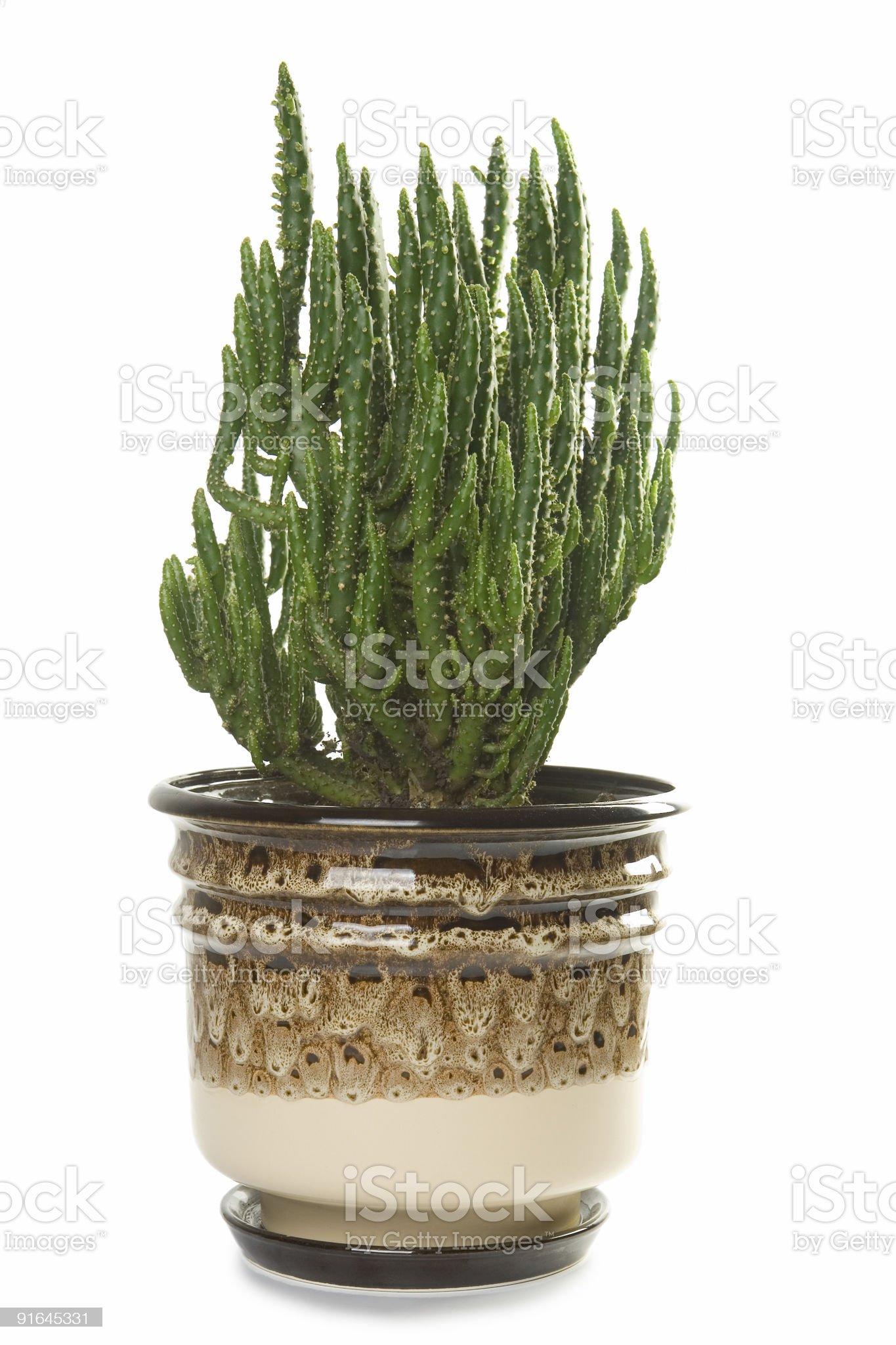 Big cactus in flowerpot royalty-free stock photo
