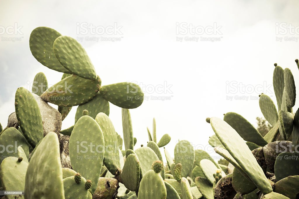 big cactus opuntia ficus-indica stock photo
