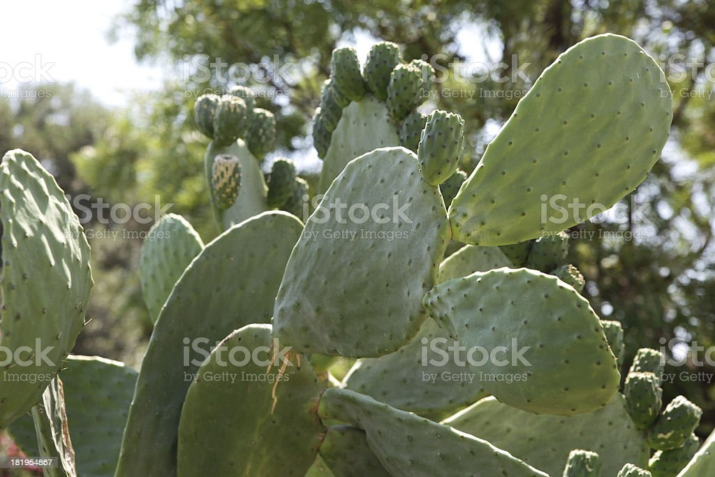 Big cactus royalty-free stock photo