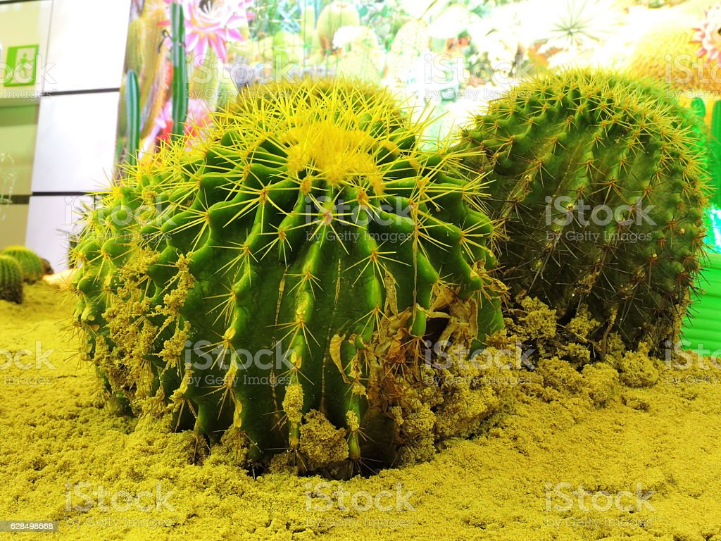 Big cactus. stock photo