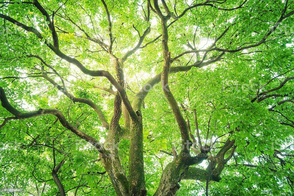 Big camphor tree. stock photo