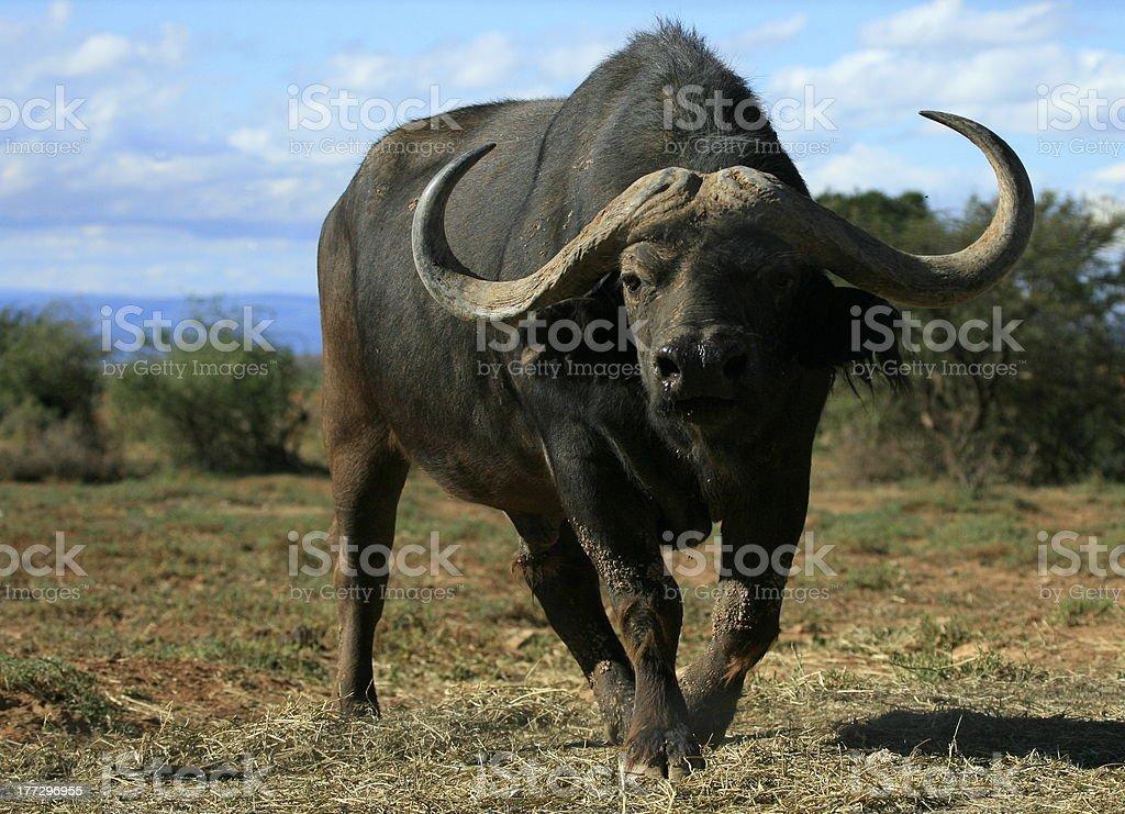 Big Cape Buffalo approaching stock photo