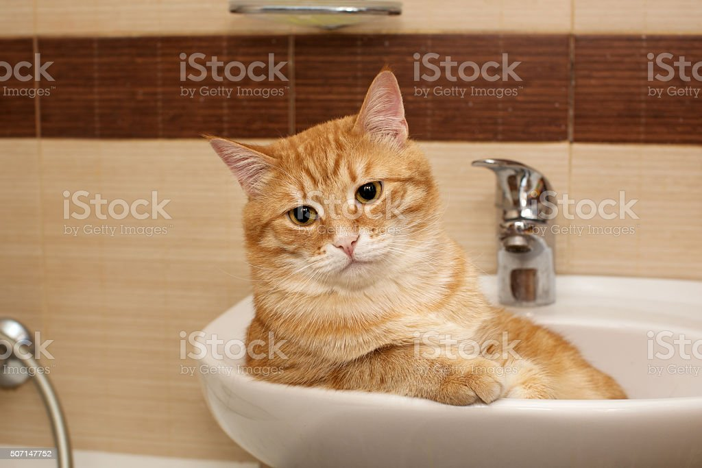 Big cat lying in  sink stock photo