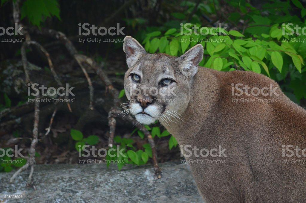 big cat stock photo