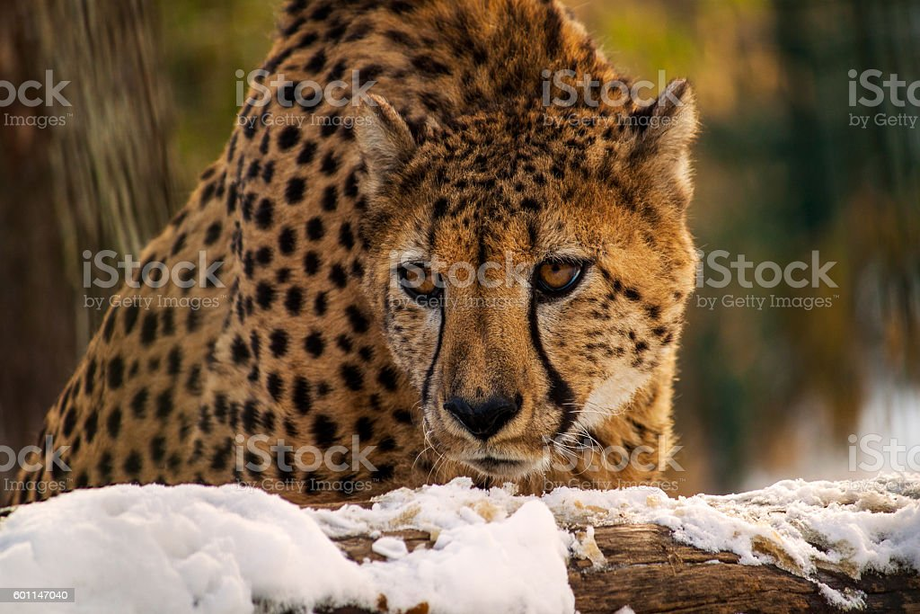 Big cat stock photo