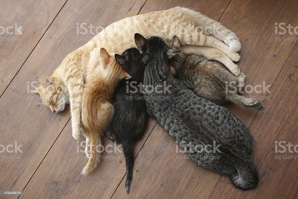 Big cat suck milk with kittens stock photo