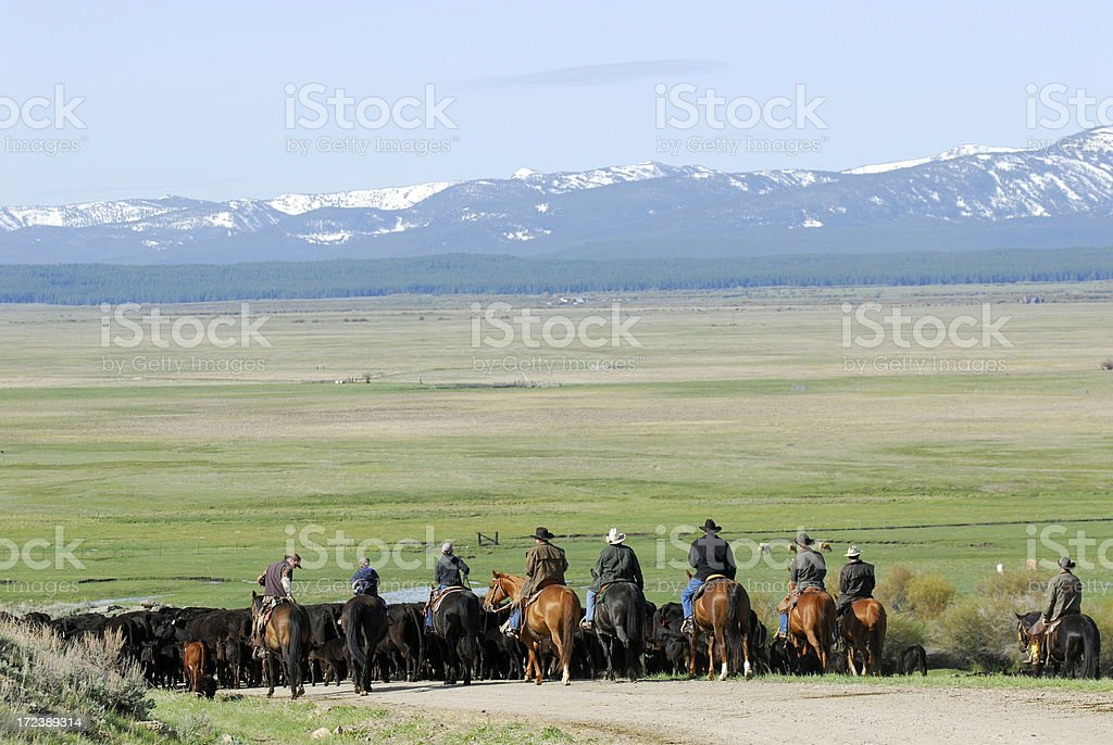 Big Cattle Drive stock photo