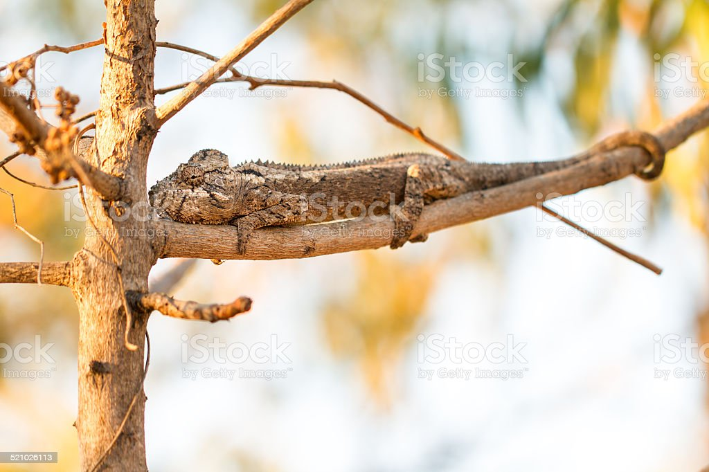 Big chameleon stock photo