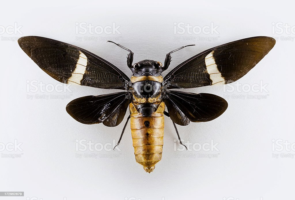big cicada stock photo