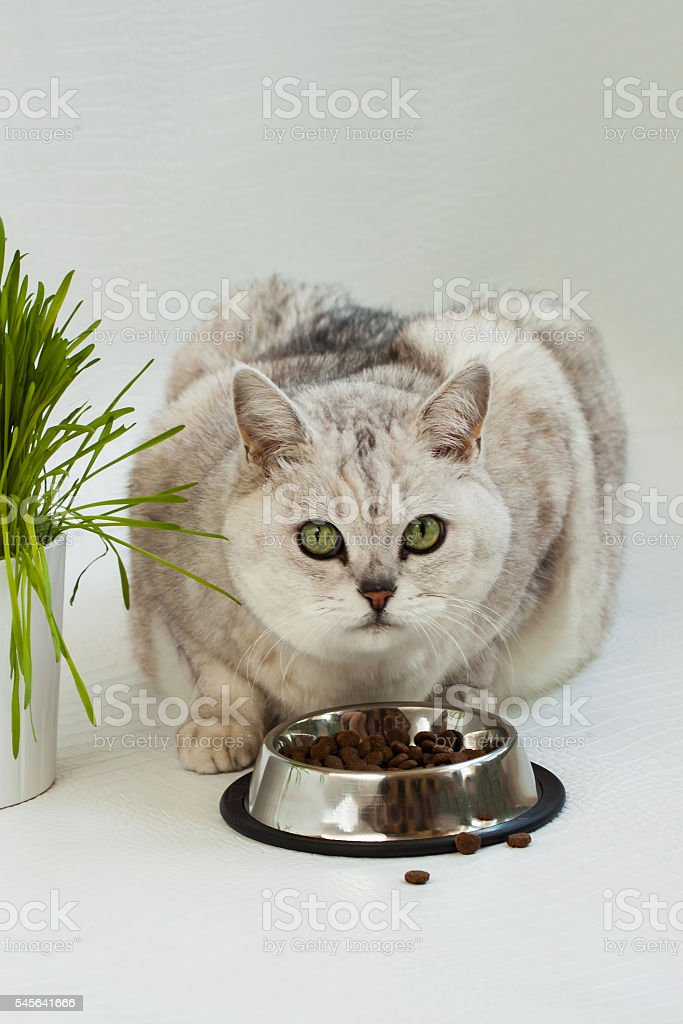 Big clear cat with beautiful green eyes stock photo