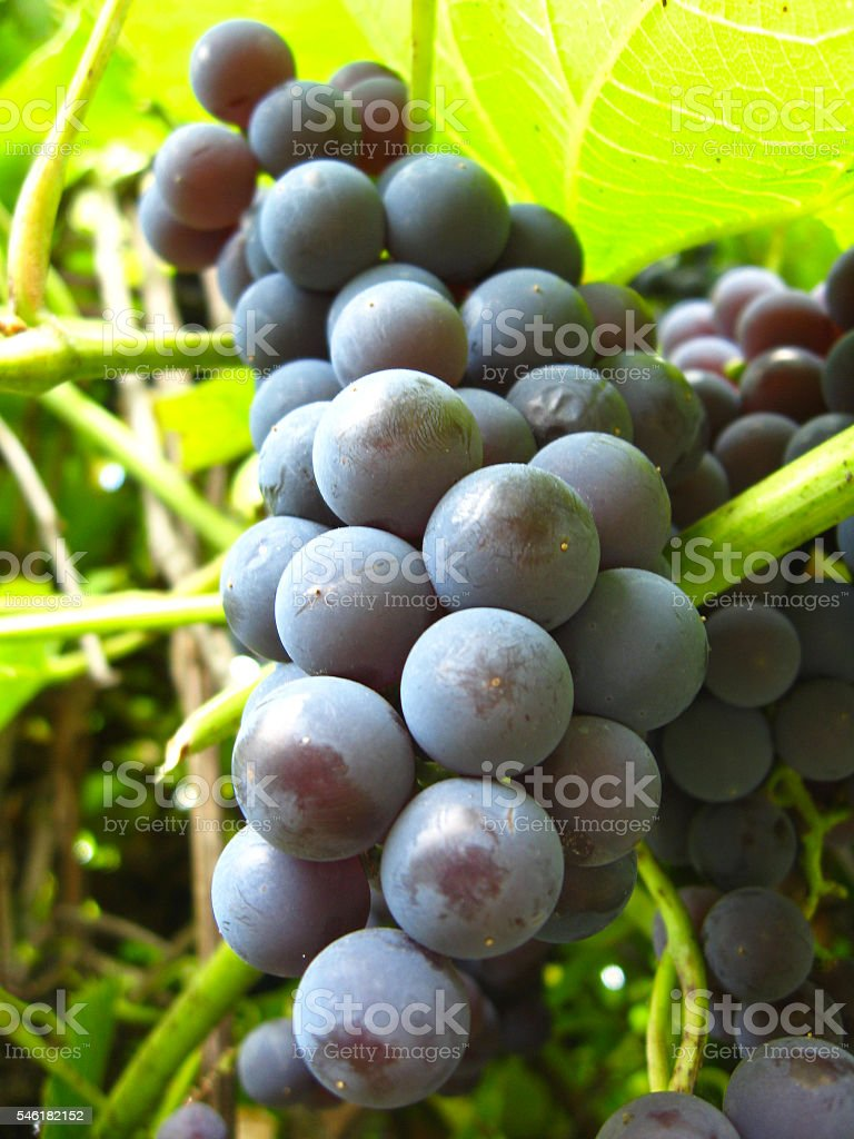 big cluster of blue grapes stock photo