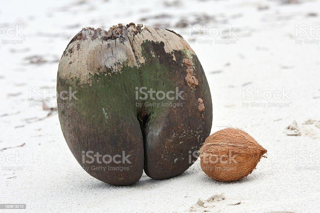 big coco de mer and small coconut stock photo
