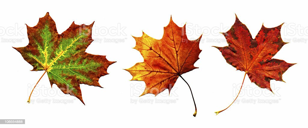 Big collection  autumnal maple leaf royalty-free stock photo