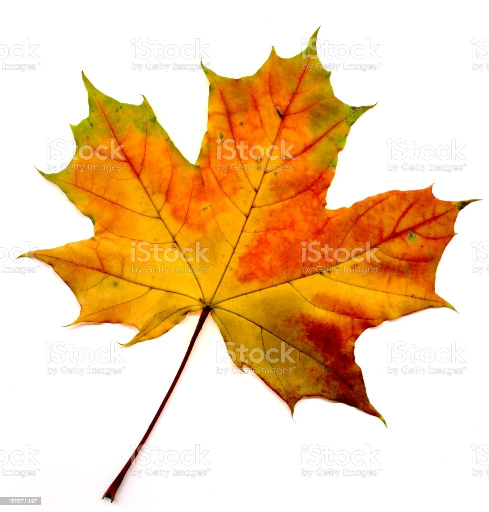 Big collection  autumnal maple leaf stock photo