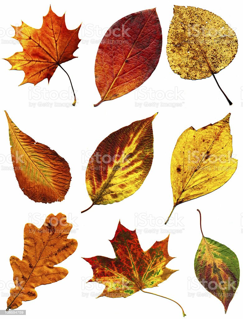 big collection of autumnal leaf royalty-free stock photo