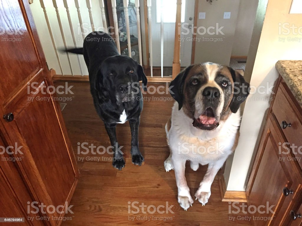 Big Cute Dogs stock photo