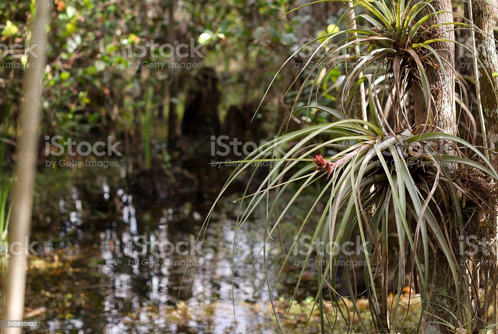 Big Cypress Swamp stock photo