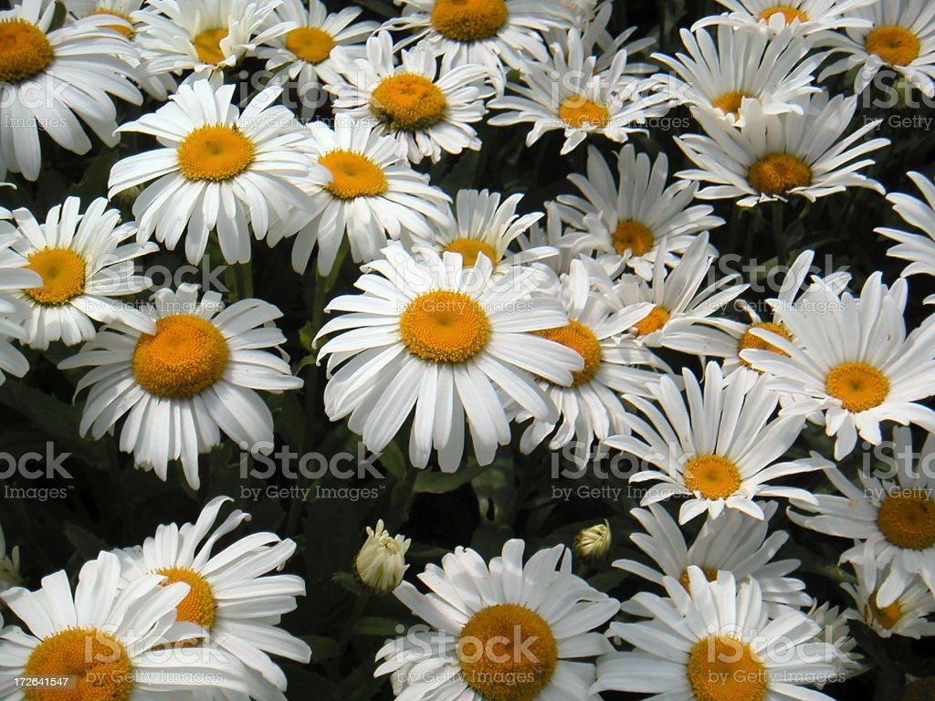 Big daisies royalty-free stock photo