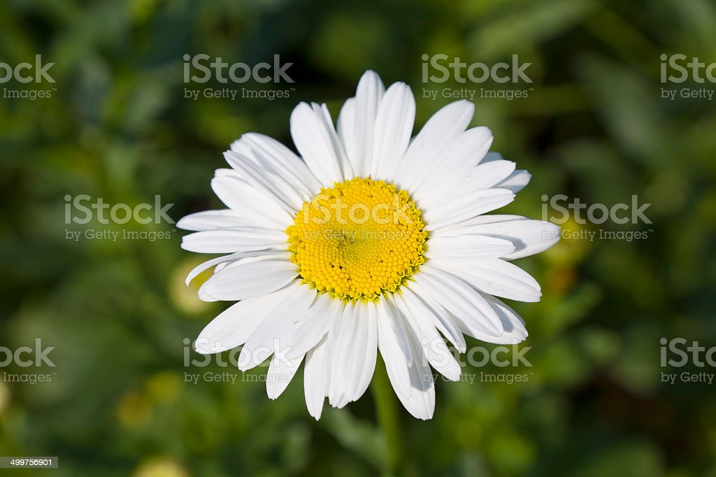 Big daisy stock photo