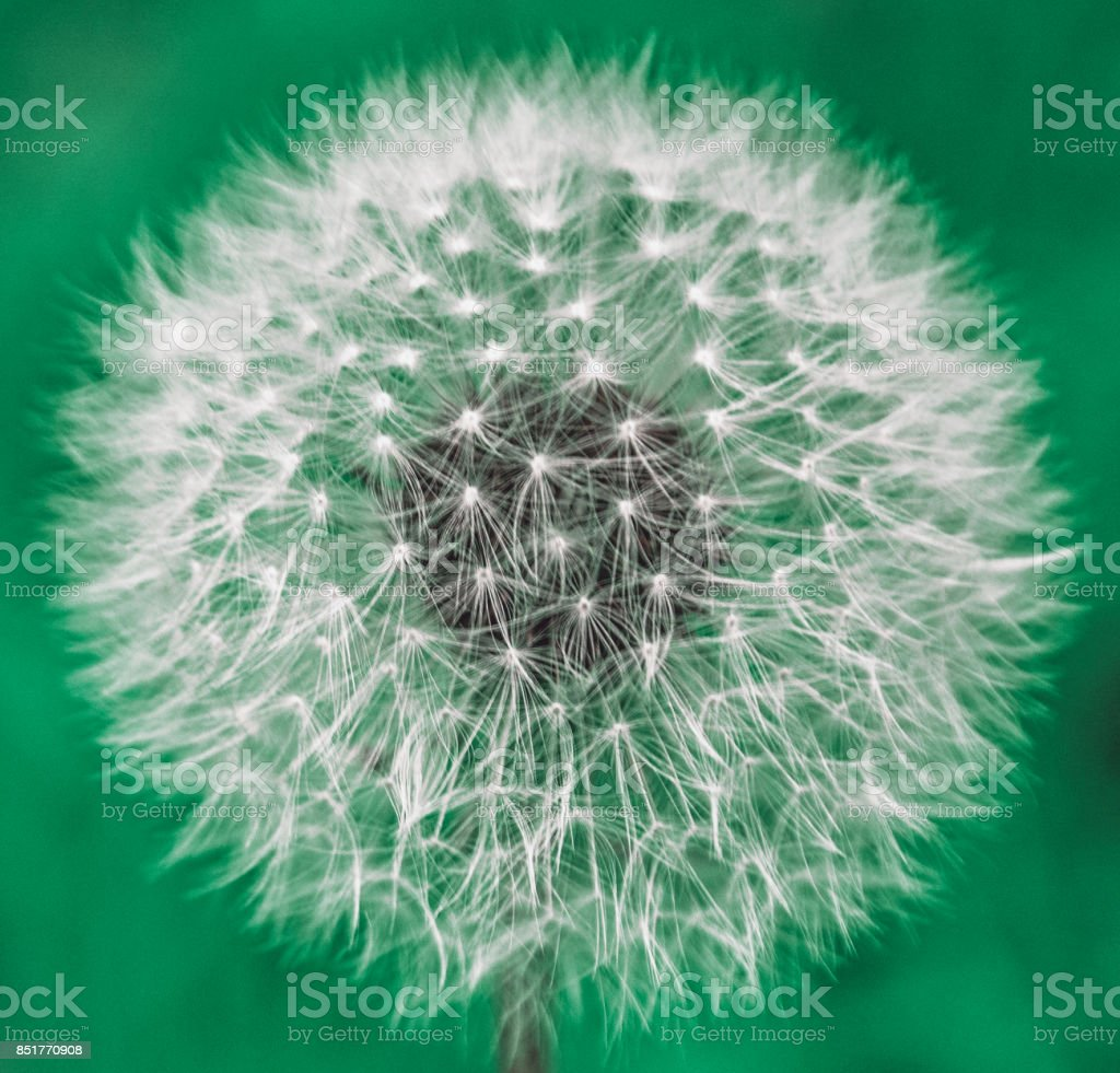 big dandelion against sky, part of the parachutes fly in the sky. stock photo
