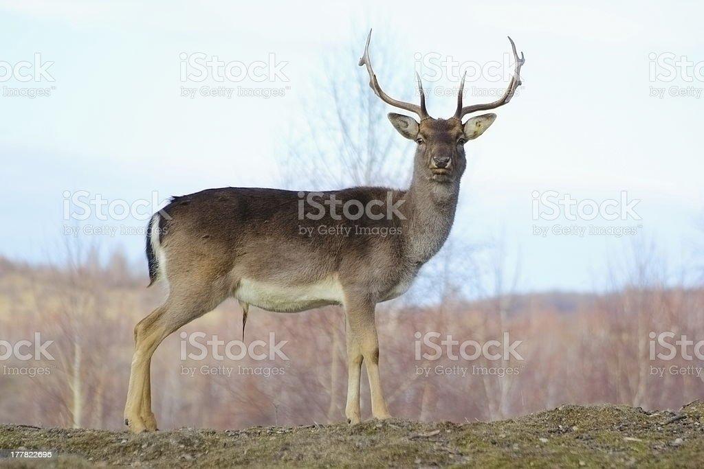 big deer buck royalty-free stock photo