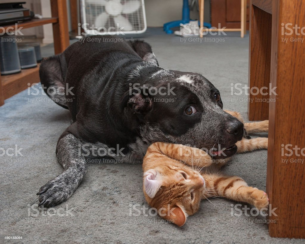 Big dog and small kitty playing on floor stock photo