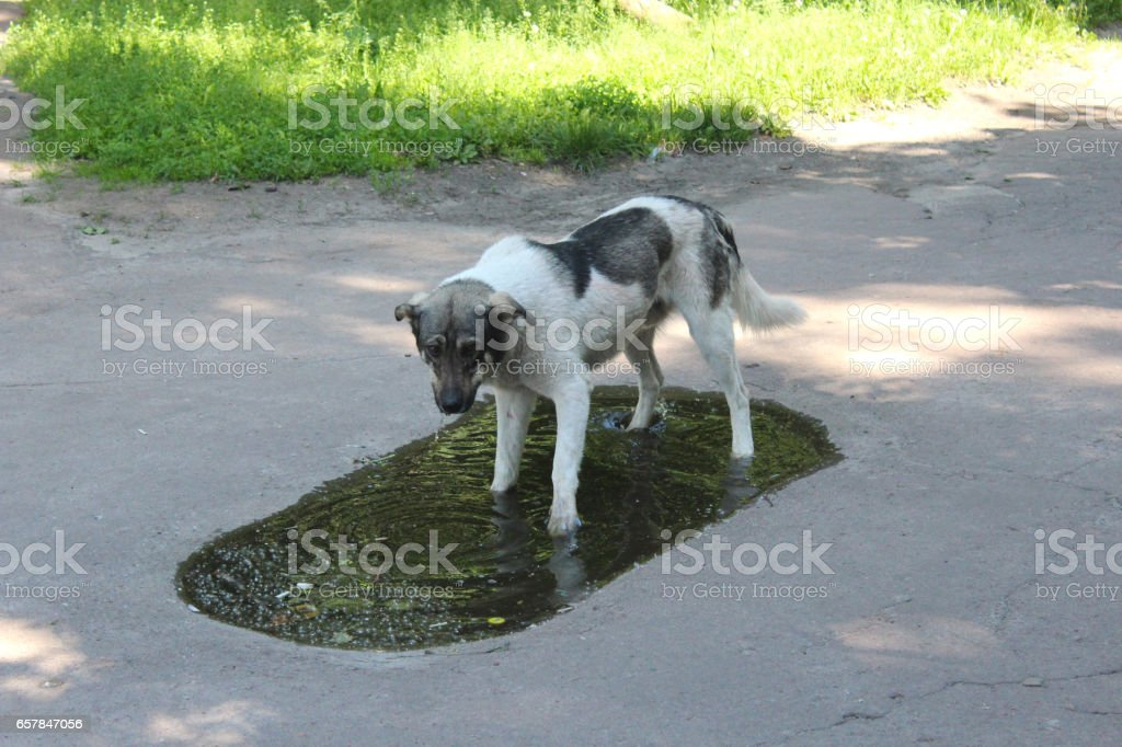 Big dog drinking water from poll slaking its thirst stock photo