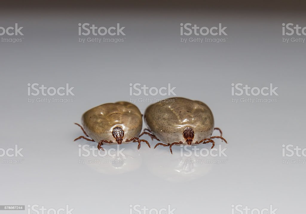 Big dog tick sucking blood is ready to breed stock photo