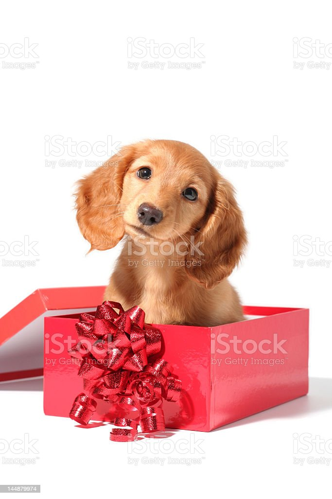 Big eared puppy dog in a red box with bow royalty-free stock photo